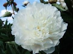 Корневище Пион WHITE Sarah Bernhardt 02/03